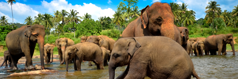 elephant-gathering